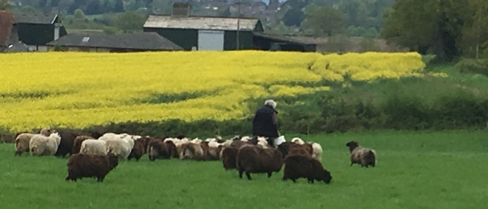 Pete the Sheep Whisperer