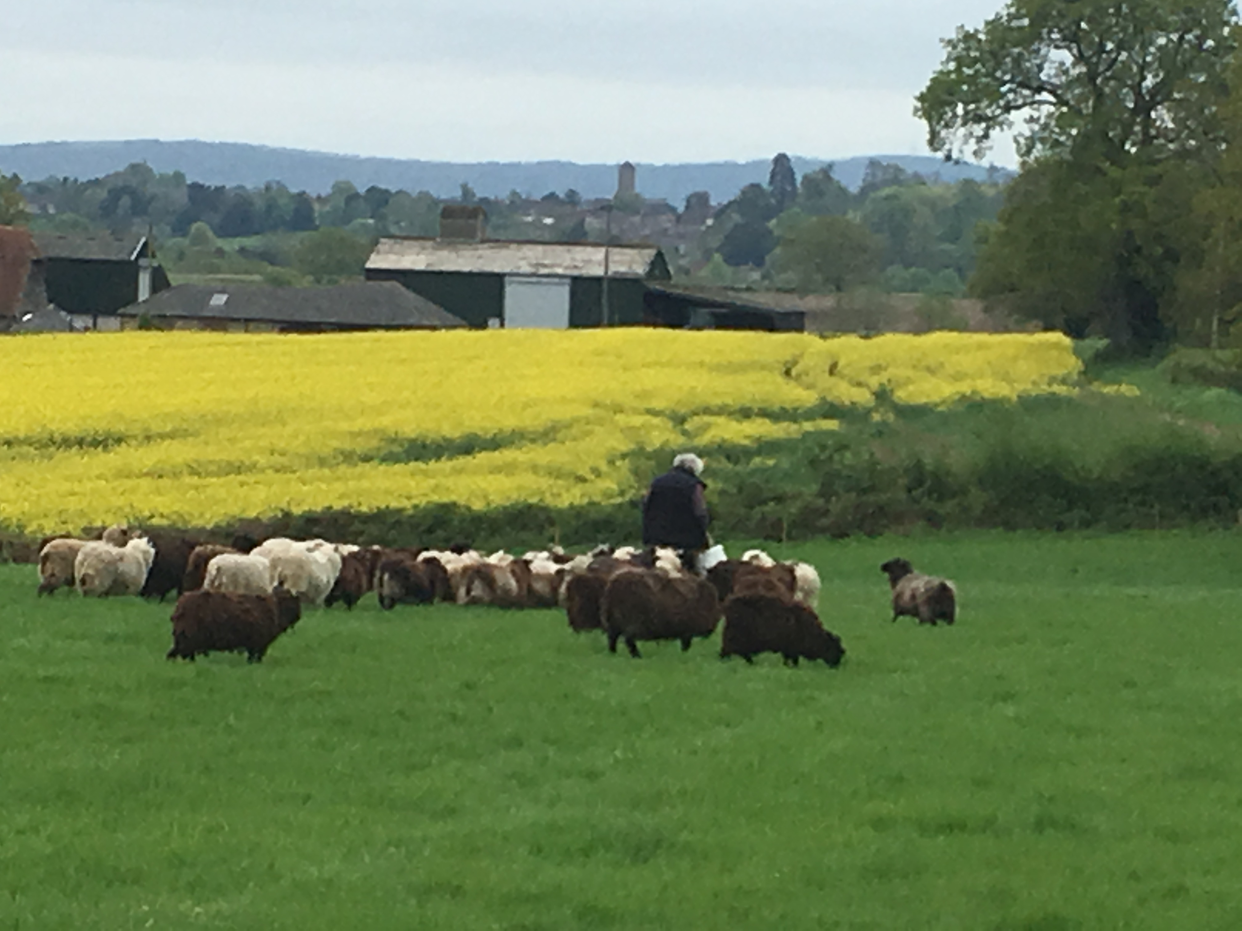 Pete the Sheep Whisperer