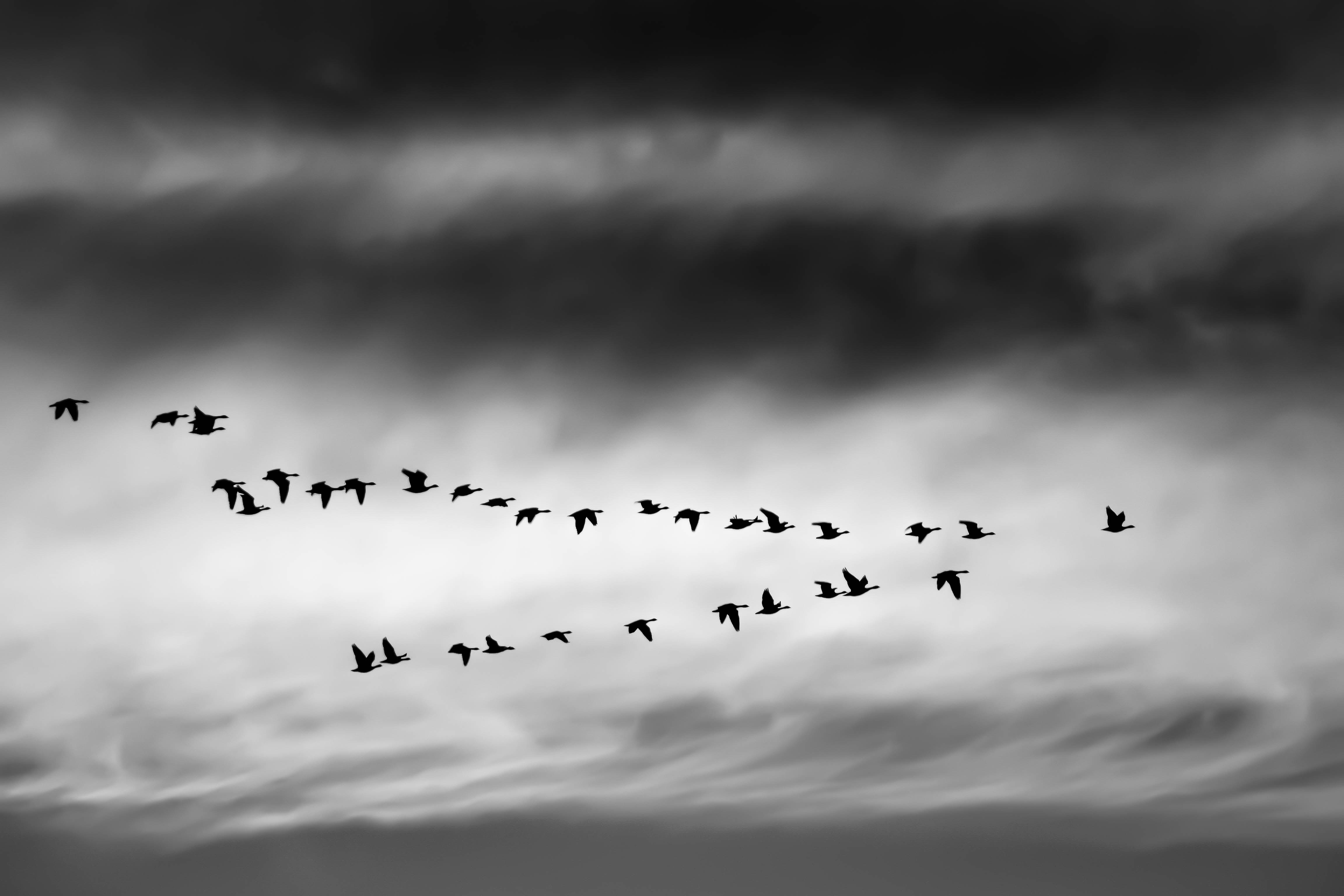 In Celtic Christian story the wild goose was the visible image of the presence of the Holy Spirit. Photo by Ethan Weil.