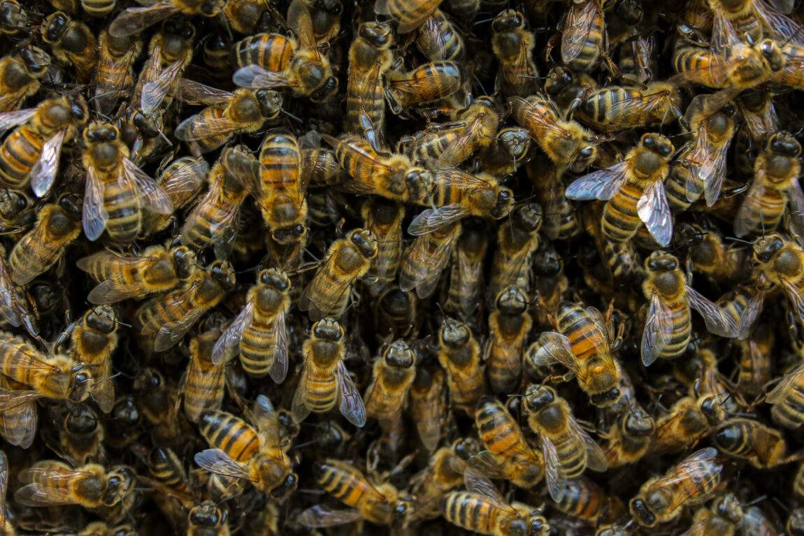 Bees close up.One of St Columba's colonies of bees. A perfect example of a gift economy.
